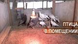 Содержание кур, уток, индеек, цесарок в хозяйстве Золотухина Николая Ивановича.
