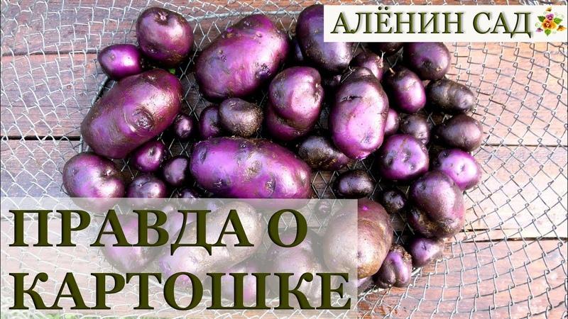 ПРАВДА о ЛЕЧЕБНОЙ фиолетовой картошке и мой опыт её выращивания