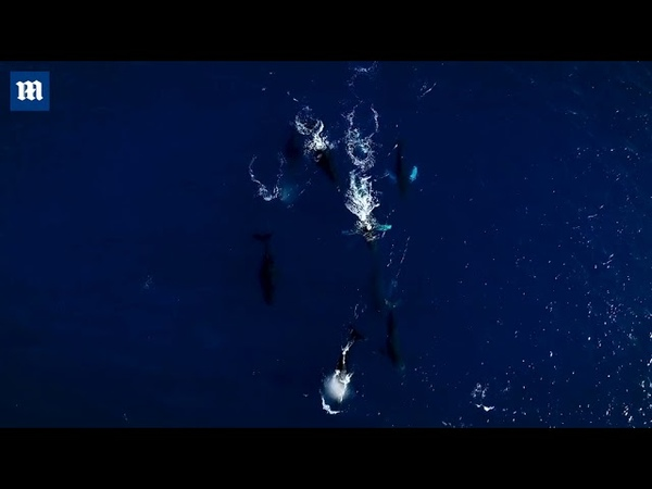Video Drone films group of humpback whales swimming north off Hawaii
