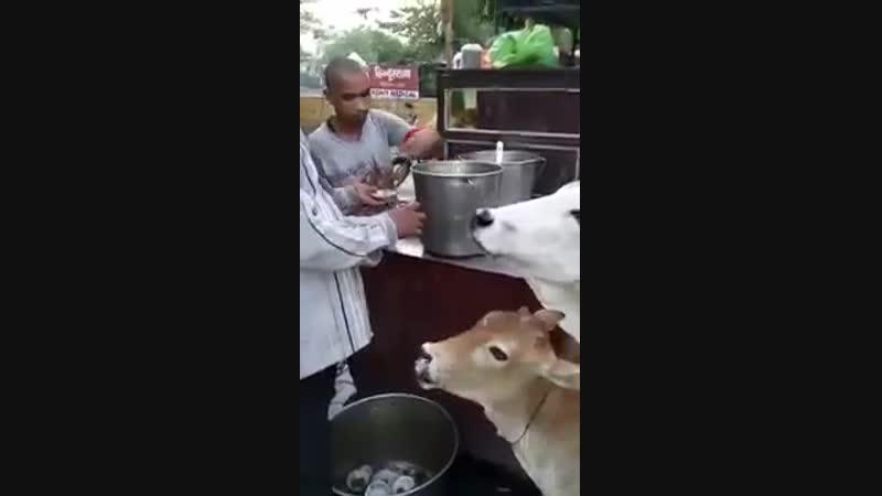 Cow pani poori khati hai