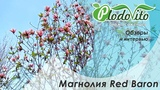 Магнолия Ред Барон (Red Baron). Садовод Андрей Миляев показывает свой сад. Как ухаживать за цветами.