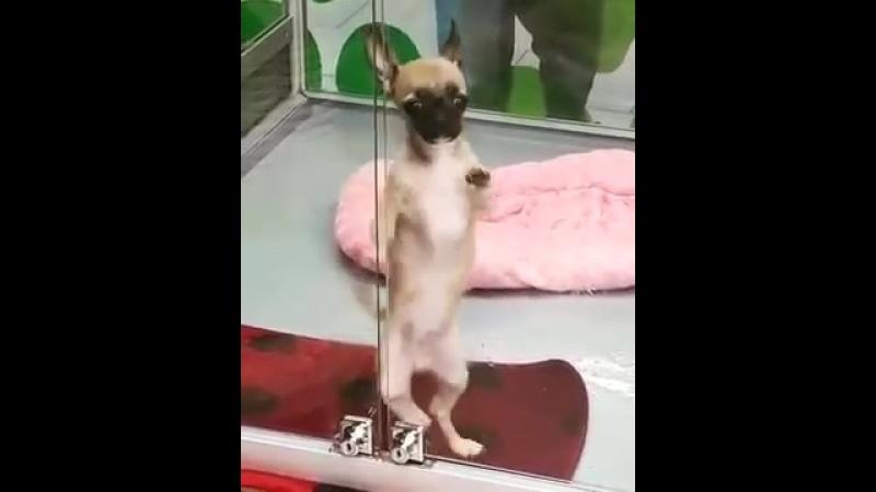 Собака танцует ламбаду 360P mp4