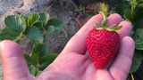 Как получить хороший урожай клубники Земляника сорта Альбион и Кабрилло.
