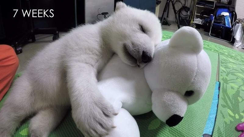 Nora the polar bear cub growing up