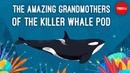 Inside the killer whale matriarchy - Darren Croft
