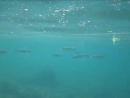 Подводный мир. Моя любимая Жемчужина.  Спасибо Ульянову Игорю за видео! 2016