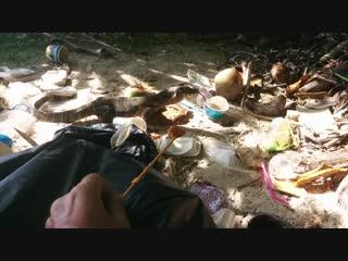 Как уговорить несговорчивого дикого варана взять корм с руки.