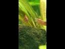 АкваМир Продажа аквариумных растений и рыбок Креветка красная вишня Neocaridina heterpoda var red