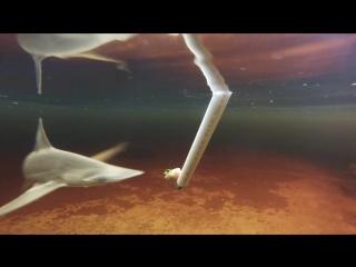 Акулы-Молот питаются водорослями l Bonnethead Shark Feeding on Seagrass