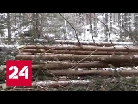 Кто пилит миллионы на нелегальной древесине в Сибири и на Дальнем Востоке