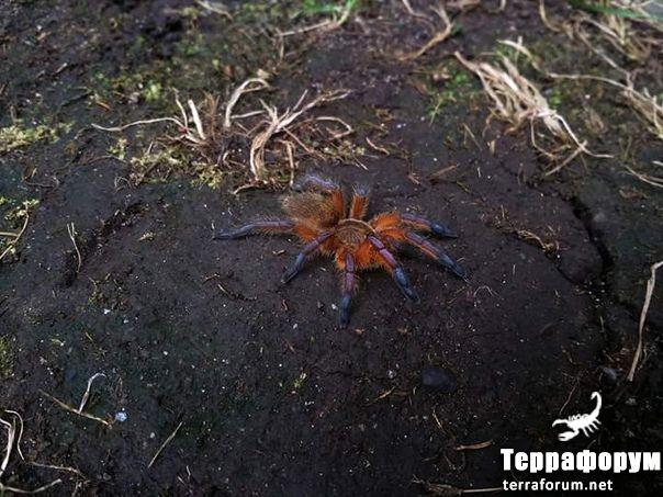 Harpactira-pulchripes