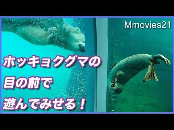 芸をするアザラシに釘付けのホッキョクグマ Polar Bears are watching seals