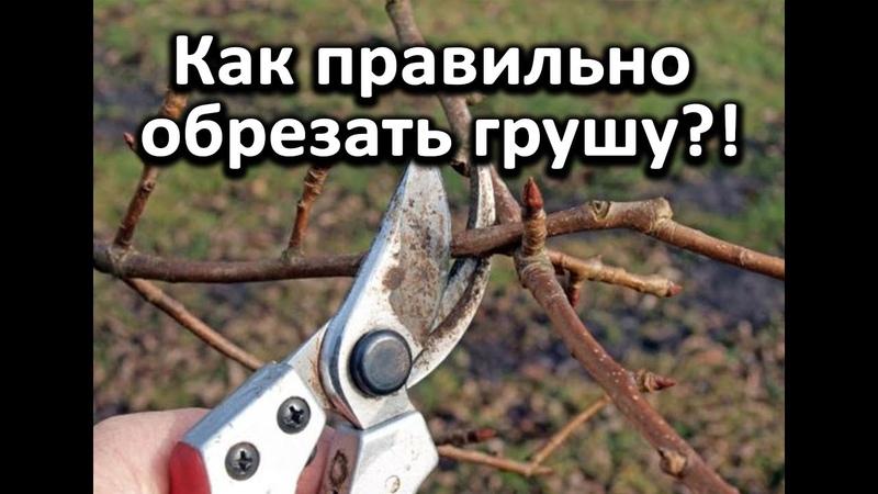 Как правильно обрезать грушу! Очень подробное видео