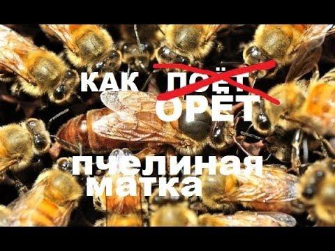 Пение пчелиной матки. Демократический выбор новой царицы. Хуже пауков в банке.