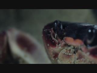 Whack! jab! crack! it's a blackback land crab smackdown (deep look)