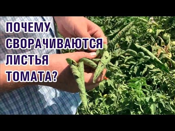 Почему сворачиваются скручиваются листья томата помидора 25 07 2018