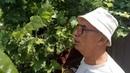 Обязательное удаление пасынков на кустах винограда во второй половине сезона.