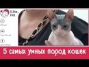 5 самых умных пород кошек на ilikepetУмные кошки