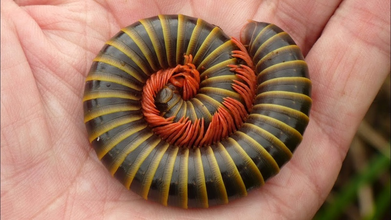 Giant Millipede from the Amazon rainforest of Ecuador