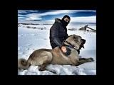 Turkish Shepherd Dogs - Türk Çoban Köpekleri Kangal , Malaklı , Boz/Yörük , Akbaş , Çapar ve Anadolu