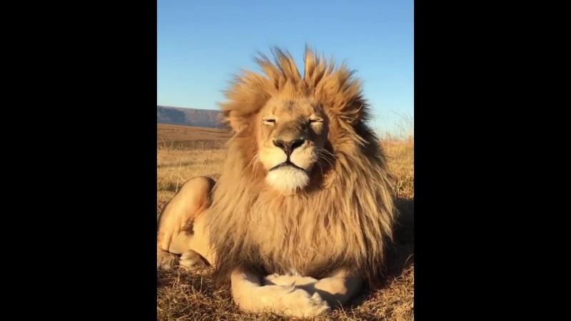 красавец!! настоящий царь зверей!!
