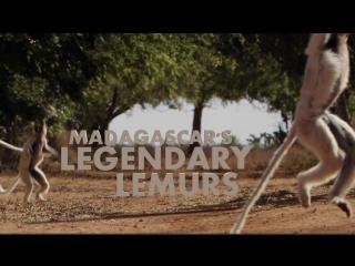 Los Legendarios Lemures De Madagascar
