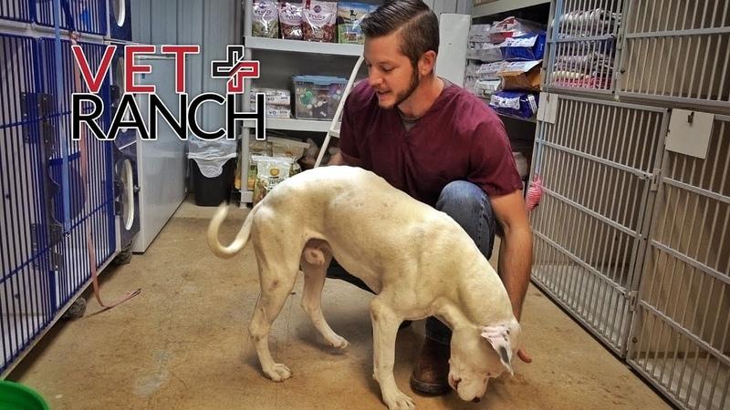 Vet Ranch на русском - Боль в каждом движении\The Happiest Suffering Dog I've Ever Seen
