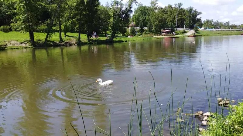 утка белая беснуется в воде смотреть онлайн без регистрации