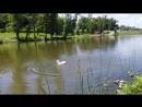 утка белая беснуется в воде