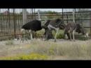 В Тайгане родились малыши у страусов