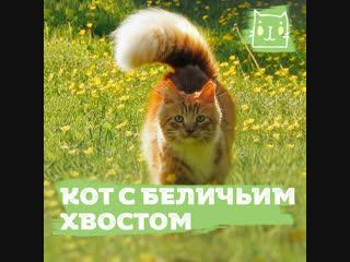 Кот с беличьим хвостом