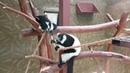 Милейшие животные лемуры Вари и рыжие Вари из Парка птиц Воробьи Немножко скример