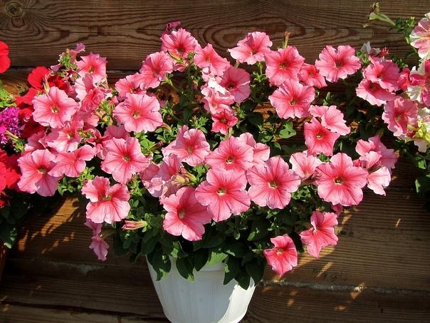 уход за рассадой петунии петуния один самых красивых и самых «праздничных» летников нашего сада. а радует она нас не только яркими красками, но и пышным долгим цветением, а также относительной