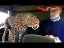 Неожиданно к старику в машину запрыгнул гепард