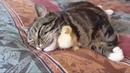 Кот и цыпленок (вырастил на свою голову).