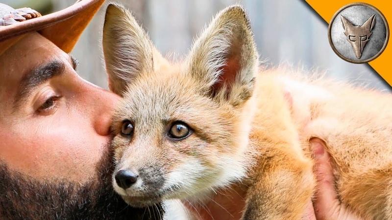 ДРУЖЕЛЮБНЫЙ ЛИСЁНОК Детеныш рыжей лисы Brave Wilderness на русском