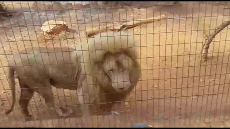 Белый лев Зоопарк Пафоса (Pafos Zoo)
