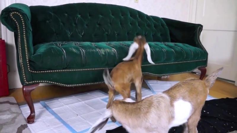 Отбитые козлы устроили дебош в хате