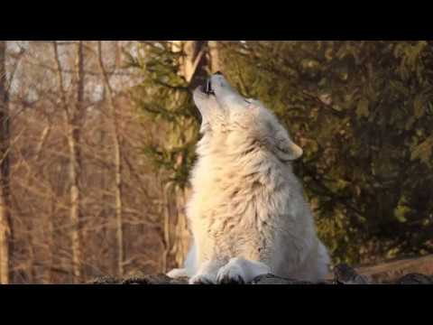 Fifty Wolves Howl at Sunset