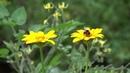 Красивые цветы на даче как пчёлы собирают пыльцу