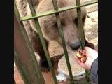 Медведь ест сушёные яблоки из дегидратора RAWMID Dream Vitamin