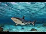 Gray Reef Sharks Attack on the fish. Maldives Safari island.