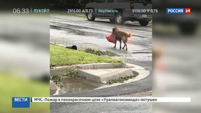 Новости на Россия 24 Находчивый пес спасающийся от урагана Харви стал героем Интернета