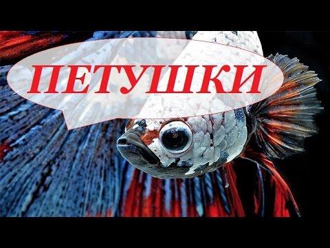 Аквариумная рыбка Петушок. Петушки. Уход, размножение, содержание. Бойцовая рыба, сиамский петушок.
