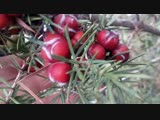 Крымский можжевельник с красными ягодами