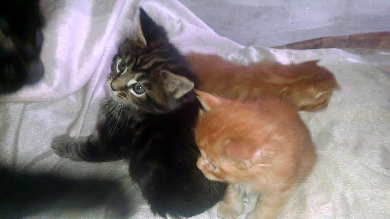 Самые роскошные окрасы котят породы Мейн кун. The most luxurious colors of Maine Coon kittens