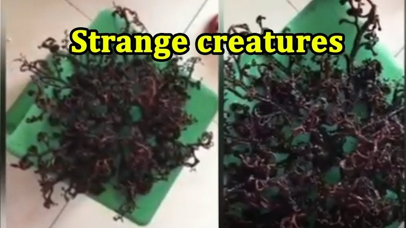 Strange creatures with hundreds of tentacles in Vietnam
