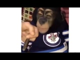 Monkey SMOKING Weed Gets SUPER HIGH Mono Fumando Marijuana