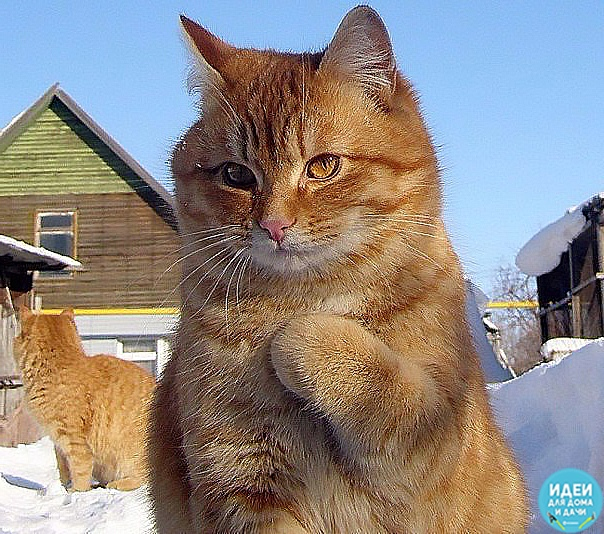 Когда твой кот фотогеничнее, чем ты))) Красавец! Люблю рыжих котов
