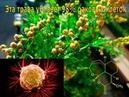 Трава, которая убивает 98% раковых клеток, часть 2 Как и когда заготавливать полынь, рецепты лечения